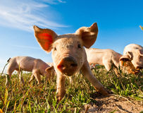 Close up of a pig royalty free stock photo