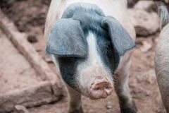 Close up of a pig with black ears in a farmyard in the UK Royalty Free Stock Image