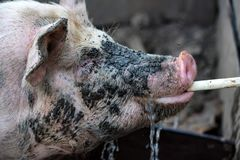 Close up pig with dirty face drinks water Royalty Free Stock Photo