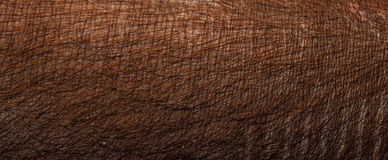 Close-up pig skin.Brown pig skin. Stock Images
