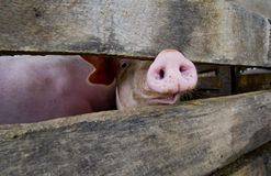 Close-up of a pig snout. Behind a fence stock image