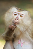 A close up of Pig-tailed Macaque (Macaca nemestrina). In Thailand Stock Photo