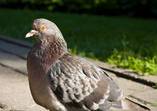 Close-up of pigeon Royalty Free Stock Images