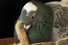 Close up pigeon bird feeding to new baby in home loft Stock Photography