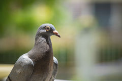 Close up pigeon birds with blurry background Royalty Free Stock Photos
