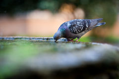Close-up of a pigeon drinking water from a basin royalty free stock image