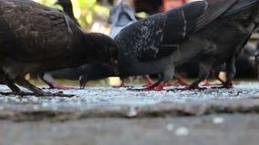 Pigeon eating food. Close up pigeon eating food stock video footage