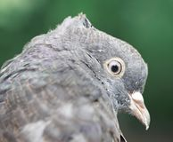 Close up of a pigeon Royalty Free Stock Image