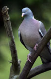 Close up of pigeon sat in tree Royalty Free Stock Photography