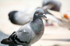 Close up of pigeon Stock Image