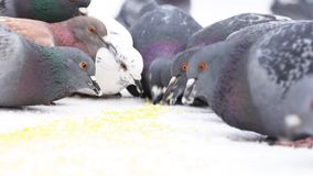 Close up for pigeons eating small yellow grains on white background. Media. Flock of birds pecking millet fast all stock image