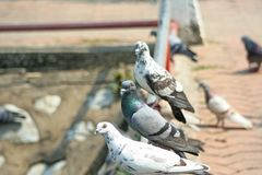 Pigeons in temple stock image
