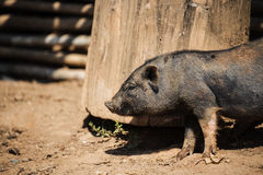 Close up piglet at the mountain hill village Stock Photos