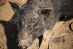 Close up piglet at the mountain hill village Royalty Free Stock Images