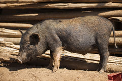 Close up piglet at the mountain hill village Royalty Free Stock Photos