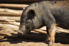 Close up piglet at the mountain hill village Royalty Free Stock Photography