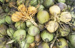 Close up of fresh green coconuts Royalty Free Stock Photos