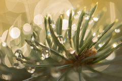 Pine needles with dew Royalty Free Stock Photography