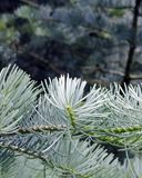 Close-up of pine needles Royalty Free Stock Image