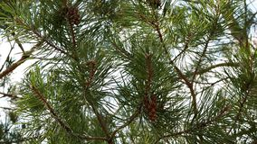 Close-up of pine branch with cones swaying in the wind on a sunny day stock video