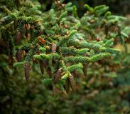 Pine branch with fir-cones Royalty Free Stock Photos