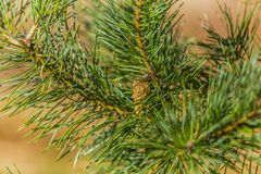 Close up of a pine branch with one pine cone royalty free stock photo