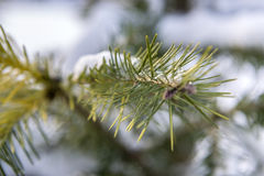 Close-up of pine branch in the park Royalty Free Stock Image