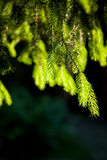 Close-up of pine branches with Royalty Free Stock Photo