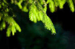 Close-up of pine branches Stock Image