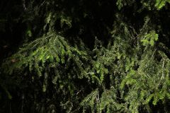 Close up on pine branches with copy space for your text
