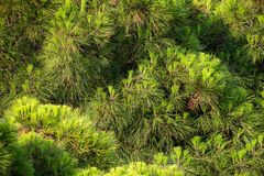 Close-up of pine branches. Nature background concept
