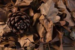 Close up of pine come Stock Photos
