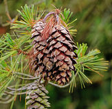 Close up of a Pine Cone Royalty Free Stock Photos