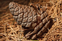 Close up of a pine cone fallen on a carpet of needles Stock Photos