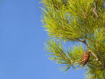 Close up of pine cone growing on pine tree Stock Photos