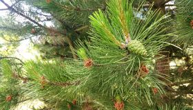 Close up of pine cone Stock Photography