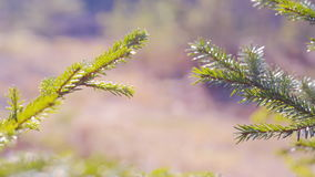 Close up of Pine or Fir tree branches moving on wind.  summer. Green spruce branches close-up summer stock video