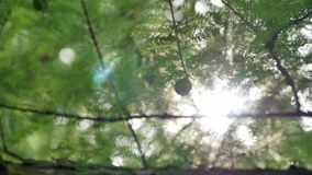Close up of Pine or Fir tree branches moving on wind. Sunlight through needles.4 K video footage of real beautiful green. Prickly branches at sunset time stock footage