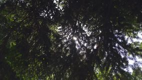 Close up of Pine or Fir tree branches moving on wind. Sunlight through needles.4 K video footage of real beautiful green. Prickly branches at sunset time stock video footage