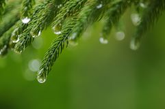 Close up of pine leaves with drops of water after raining. Close up of pine leaves after raining with the drops of water Royalty Free Stock Photography
