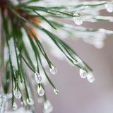 Close-up of Pine needles with ice drops. Fir branches. For winter, spring, Merry christmas, happy new year background. Close-up of Pine needles with ice drops royalty free stock image