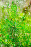 Close-up of a pine sapling. Royalty Free Stock Image