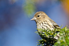 Close Up of a Pine Siskin Royalty Free Stock Image