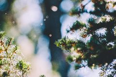 Close-up of Pine Tree Branch Stock Photography