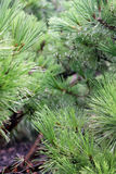 Close up of pine tree branches Royalty Free Stock Photos