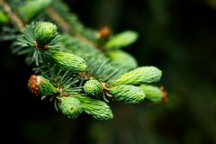 Close-up of pine tree buds. In spring stock image