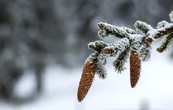 Close-up of pine tree cones in winter covered with white snow an stock photo