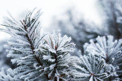 Close up of pine tree Stock Image