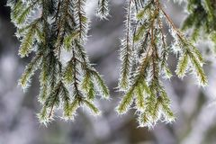 Close-up of pine tree covered with snow frost in winter Royalty Free Stock Photography