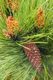 Pine tree flower in bloom. Close up pine tree with flower in bloom stock photography